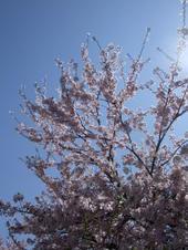 2009sakura1