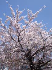 2009sakura2